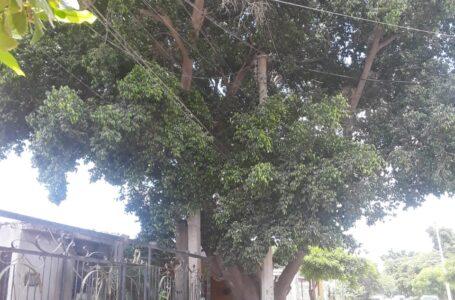 Árbol provoca cortos en cableado de CFE, denuncian en la Álamos 2