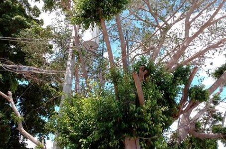 Árbol provoca problemas en servicio de energía eléctrica en Álamos Country, denuncian vecinos