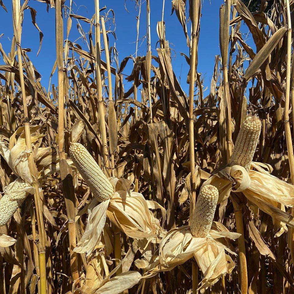 Esperan productores se agilicen pagos de maíz