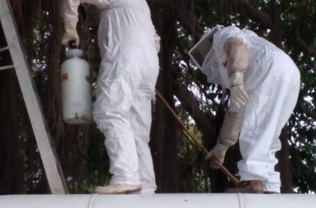 Persiste alta incidencia de reportes de abejas en Ahome