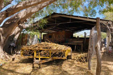 Molienda en Chinobampo, más de 60 años de tradición